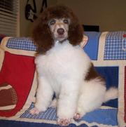 Black and White Standard poodle Puppies ready now
