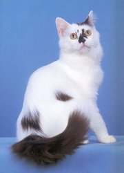 Indonesia York Chocolate Breeders,  Grooming,  Cat,  Kittens,